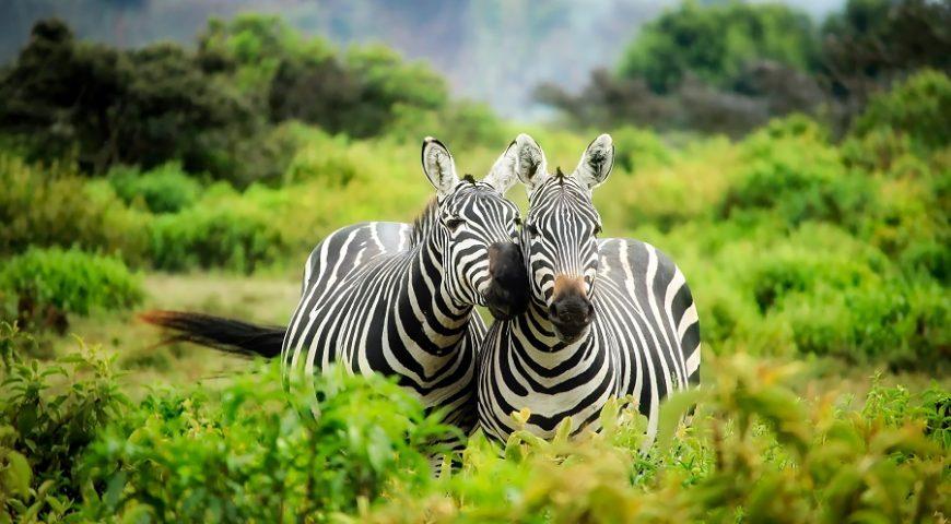 safari during pandemic